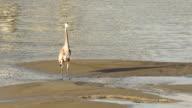 Wild Blue Heron Hunts in Yaquina Bay Animal Wildlife Pacific Ocean West Coast video
