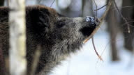 Wild Boar and twig video