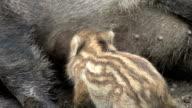 wild boar baby video