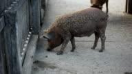 Wild boar farm in Hungary video
