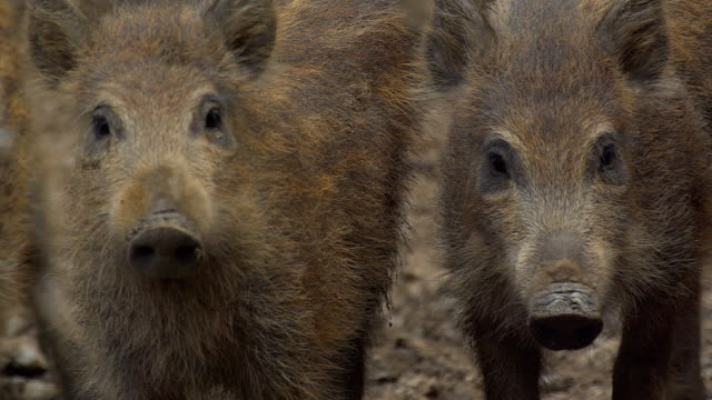 wild boar video