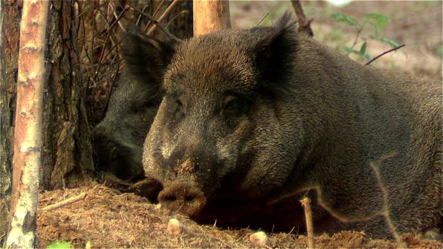 Wild boar yawns video