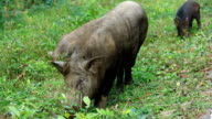 Wild boars having dinner video