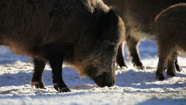 HD: Wild boars video