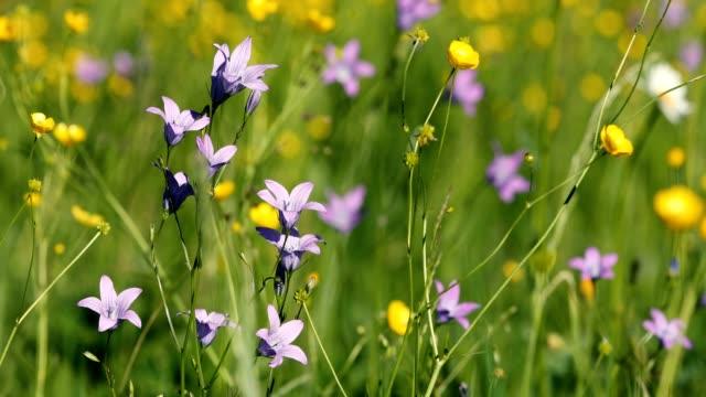 wild Campanula violet bell flower on meadow in spring breeze video