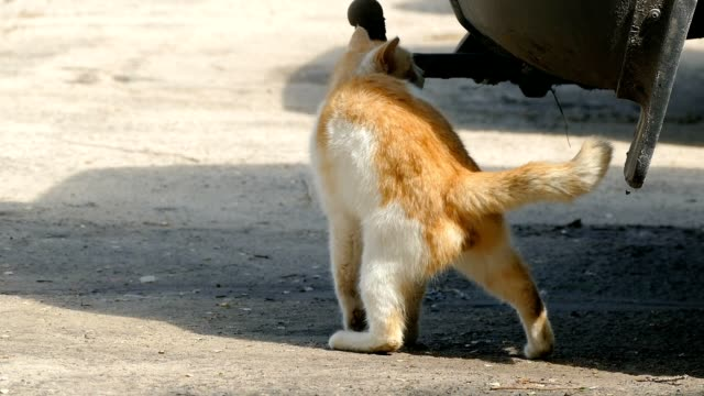 wild cat rubs against aiming the car, slow motion video video
