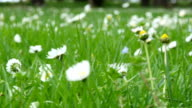 Wild chamomile flowers on a field on a sunny day video