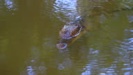 Wild Crocodile on the river video