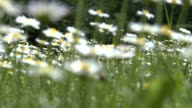 Wild daisies swinging in mountains with birds singing video