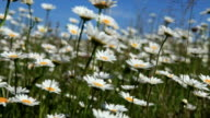 Wild daisies. video