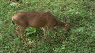 Wild Deer 03 video