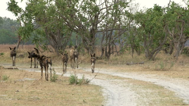 Wild dog hunting with tourist safari vehicle in the background video