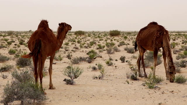 Wild dromedaries in the desert near Douz / Tunisia video