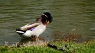 Wild duck in personal hygiene video