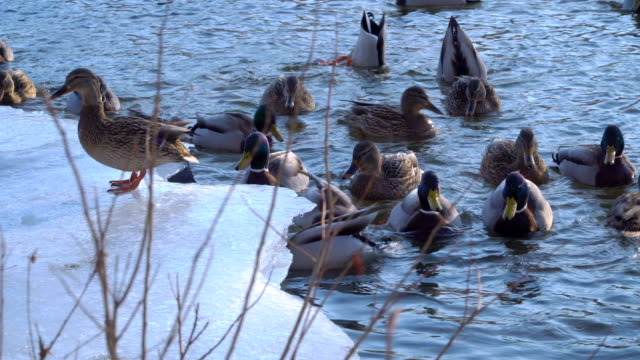 Wild duck in the water video