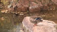 Wild duck video