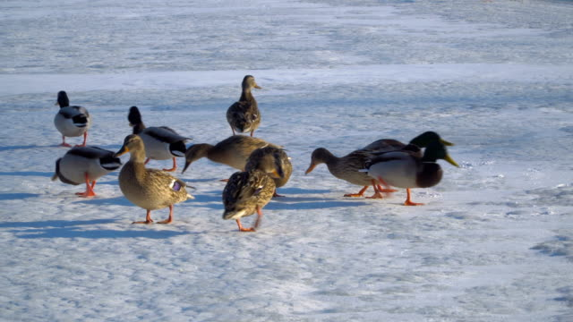 Wild duck walking on ice video