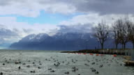 Wild ducks floating and flying over stormy water surface, snowy Alps on horizon video