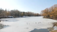 Wild ducks look for food in the winter river. video