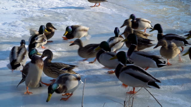 Wild ducks on ice video
