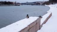 Wild ducks on the winter river video