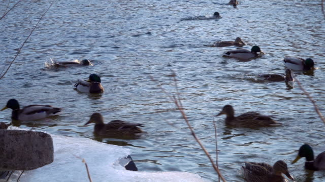 Wild ducks swim near the shore of a frozen video