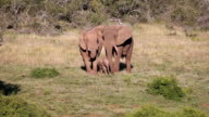 Wild Elephant Family in South Africa video