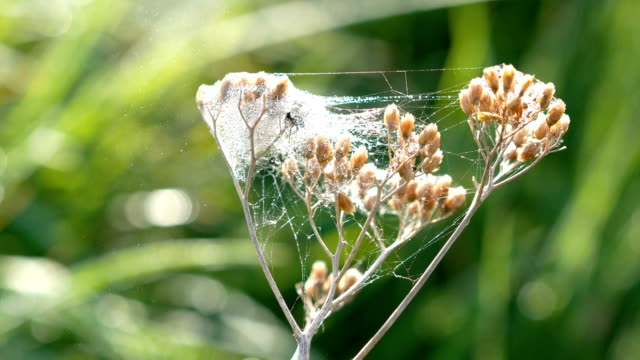 Wild flower covered in cobweb video