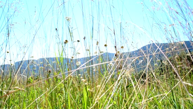 Wild flowers against the background of mountains. video