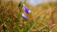 Wild flowers bellflower sway in the wind in mountain field video