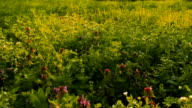Wild flowers on a background of green grass in the spring video
