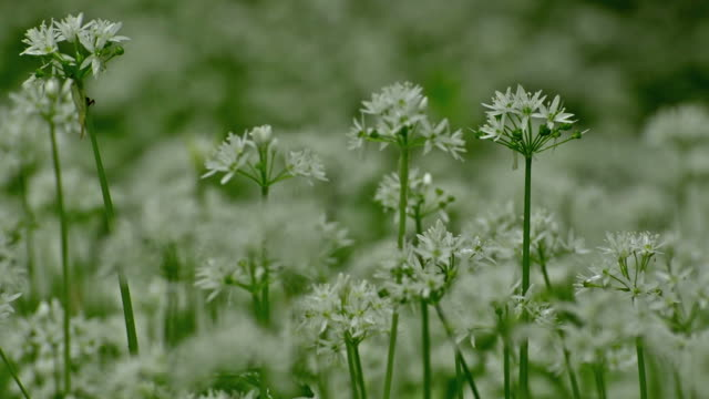 Wild fresh and ripe ramsons flowers in forest video