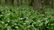 Wild fresh and ripe ramsons in forest in spring time video
