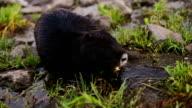 Wild furry coypus video