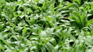 wild garlic (Allium ursinum) plants and windflower video