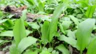 wild garlic (Allium ursinum) plants video