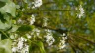 Wild garlic (Allium ursinum) video