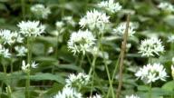 wild garlic video