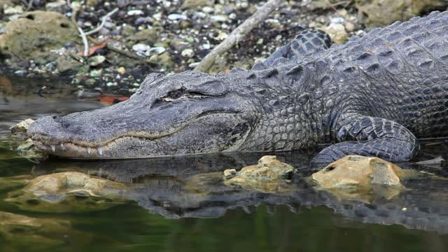 Wild Gator video