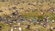 Wild Geese on the Field video