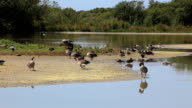 Wild geese video