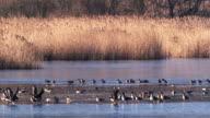 Wild goose video