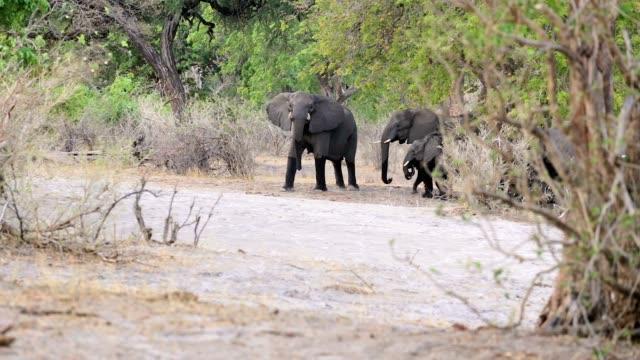 wild grazing African Elephant, Africa safari video