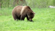 Wild grizzly bear eating clawing grazing National Forest Wyoming video