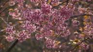 Wild Himalayan Cherry, Prunus cerasoides video