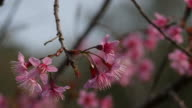 Wild Himalayan Cherry, Prunus cerasoides video