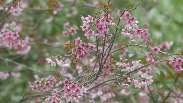 Wild Himalayan Cherry shaking with gently wind video