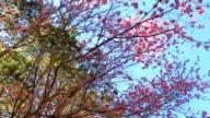 Wild Himalayan Cherry spring blossom video