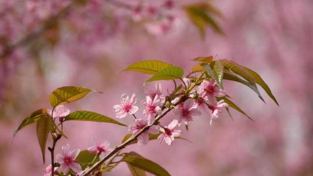 Wild Himalayan cherry video