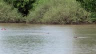 Wild Hippo in African river water hippopotamus (Hippopotamus amphibius) video